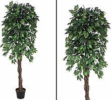 Ficus-Benjamini, Multi Stamm natur, 1548 Blätter,