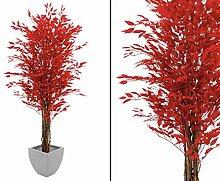 Ficus Benjamini, Multi Stamm natur, rote 1548