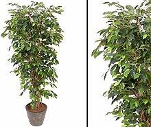 Ficus Benjamini Multistamm, Höhe 150cm -