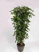 Ficus Benjamini Multitrunk, mit 1440 Blätter,