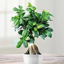 Ficus Bonsai - 1 pflanze