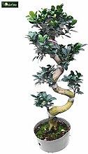 Ficus Bonsai - Chinesische Feige - Bonsai