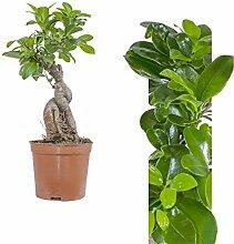 Ficus Bonsai Ginseng 30cm +/-