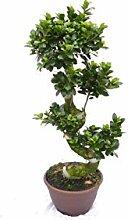 Ficus Ginseng Bonsai 80-100 cm Feng Shui