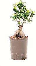 Ficus Ginseng, Ficus microcarpa Bonsai,