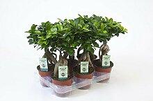 Ficus Ginseng, Ginseng Bonsai, (Ficus microcarpa),