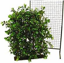 Ficus-Hecke, 3600 Blätter, Sichtschutz mit Breite