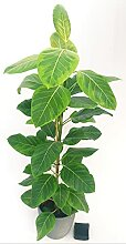 Ficus Keramikvase, anthrazit, gestreift, Höhe 130