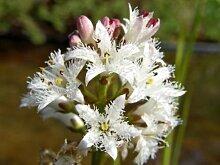 Fieberklee (Menyanthes trifoliata) Teichpflanze Teichpflanzen Teich
