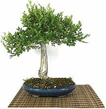 Field Elm bonsai tree (5)