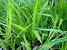 Filtersegge Teichpflanze Teichpflanzen Teich