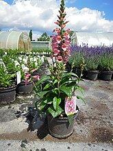 Fingerhut Berry Canary Staude rosa blühend Solitär-Staude winterhart Digitalis x valinii im 3 Liter Topf 1 Pflanze