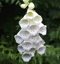 Fingerhut Dalmatian White - Digitalis purpurea