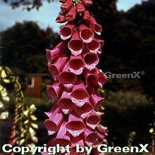 Fingerhut Gloxini - Digitalis purpurea