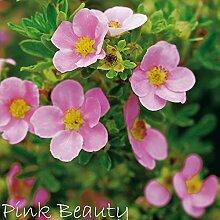 Fingerstrauch 'Pink Beauty' - Potentilla