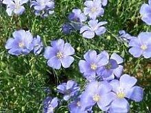 Flachs-Plan Samen, Alsi Seed/Lein/eine Blume, ein Gemüse, ein Kraut, 500 Samen!