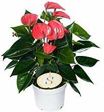 Flamingoblume, (Anthurium), pflegeleichte