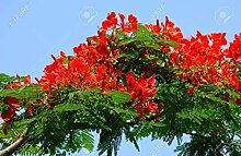 Flammenbaum (Delonix Regia) - 10 Samen -