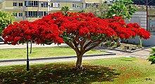 Flammenbaum (Delonix Regia) - 5 Samen -