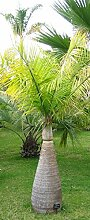 Flaschenpalme Hyophorbe lagenicaulis Pflanze