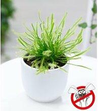 Fleischfressende Pflanze 'Sonnentau'