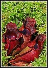 Fleischfressende Pflanze 5 Samen, Rote Schlauchpflanze (Sarracenia purpurea) Pitcher Purple