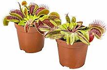 Fleischfressende Pflanze Dionaea pro 2 Stück -