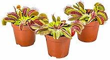 Fleischfressende Pflanze Dionaea pro 3 Stück -