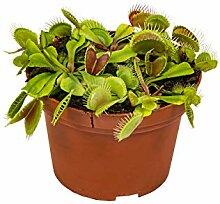 Fleischfressende Pflanze Dionaea pro Stück -