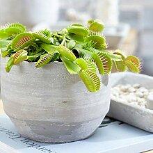 Fleischfressende Pflanze für innen Rämume in 9cm