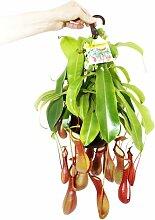 Fleischfressende Pflanze - Nepenthes alata 14cm