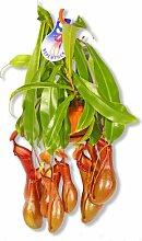 Fleischfressende Pflanze Nepenthes Alata Kannenpflanze Carnivoren
