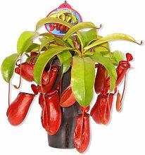 Fleischfressende Pflanze Nepenthes Bloody Mary