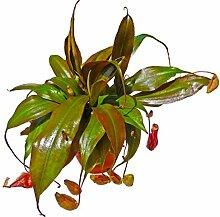 Fleischfressende Pflanze Nepenthes Rebecca Kannenpflanze Carnivoren Midi-Topf