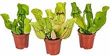 Fleischfressende Pflanze Sarracenia pro 3 Stück -