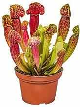 Fleischfressende Pflanze Sarracenia pro Stück -