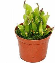 Fleischfressende Pflanze - Sumpfkrug - Heliamphora - 9cm Topf - Raritä