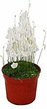 Fleischfressende Pflanze - Wasserschlauch - Utricularia - 9cm Topf - Raritä