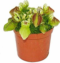 Fleischfressende Pflanze - Zwergkrug - Cephalotus follicularis - 9cm Topf - Raritä