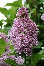 Flieder, Bogenflieder - Kräftige Pflanze im 3,5
