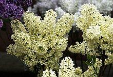 Flieder hellgelbe Blüte Edelflieder Primrose
