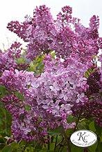 Flieder, Hyazinthen-Flieder Esther Staley - Kräftige Pflanze im 3,5 lt.-Topf, 40-60 cm