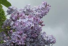 Flieder, Hyazinthen-Flieder Lavender Lady -