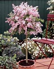 Flieder Palibin® als Stämmchen gezogen. rosa