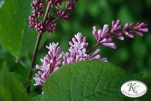 Flieder, Perlenflieder - Kräftige Pflanze im 3,5