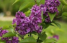 Flieder purpurrote Blüte Edelflieder Charles Joly