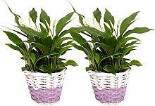 FloraAtHome - Blühpflanze - Spathiphyllum Pearl