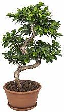 FloraAtHome - Grünpflanze - Ficus Ginseng Bonsai