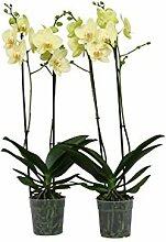FloraAtHome - Orchidee - Phalaenopsis Alassio  -