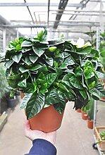 Floragard Gardenie (groß) - Gardenia